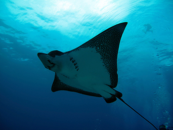 Eagleray Rarotonga Pacific Divers